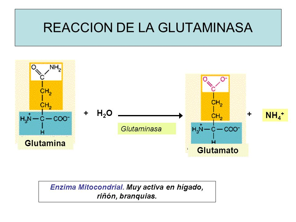 REACCION DE LA GLUTAMINASA Glutamina Glutamato Glutaminasa NH 4 + + + H2OH2O Enzima Mitocondrial.