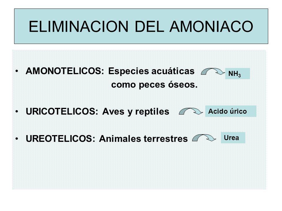 ELIMINACION DEL AMONIACO AMONOTELICOS: Especies acuáticas como peces óseos.