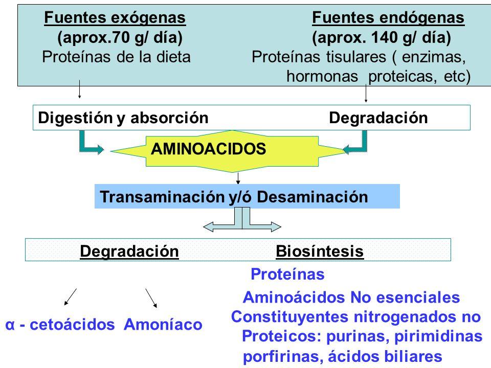 REGULACION DEL CICLO DE LA UREA Regulación a corto plazo Regulación a largo plazo Carbamil fosfato sintetasa I (+) N-Acetil glutamato Biosíntesis de las enzimas del ciclo (+) Aumento proteínas de la dieta Aumento degradación proteínas endógenas (Inanición )