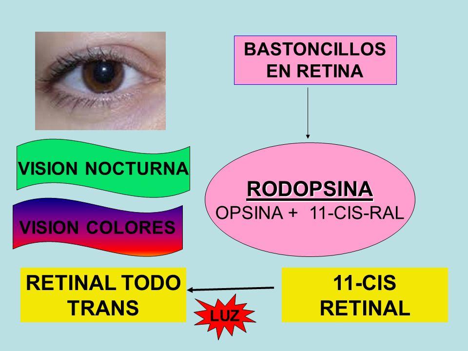 BASTONCILLOS EN RETINA RODOPSINA OPSINA + 11-CIS-RAL RETINAL TODO TRANS 11-CIS RETINAL LUZ VISION NOCTURNA VISION COLORES
