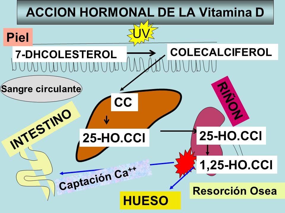 ACCION HORMONAL DE LA Vitamina D INTESTINO RIÑON Sangre circulante CC 25-HO.CCl Captación Ca ++ HUESO Resorción Osea Piel 7-DHCOLESTEROL COLECALCIFERO