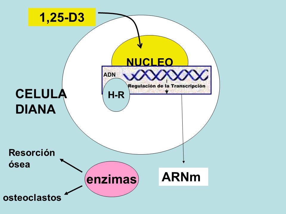CELULA DIANA NUCLEO H-R ARNm enzimas Resorción ósea osteoclastos 1,25-D3
