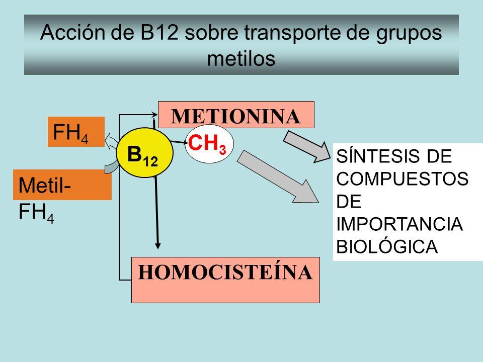 METIONINA HOMOCISTEÍNA CH 3 SÍNTESIS DE COMPUESTOS DE IMPORTANCIA BIOLÓGICA Acción de B12 sobre transporte de grupos metilos Metil- FH 4 FH 4 B 12