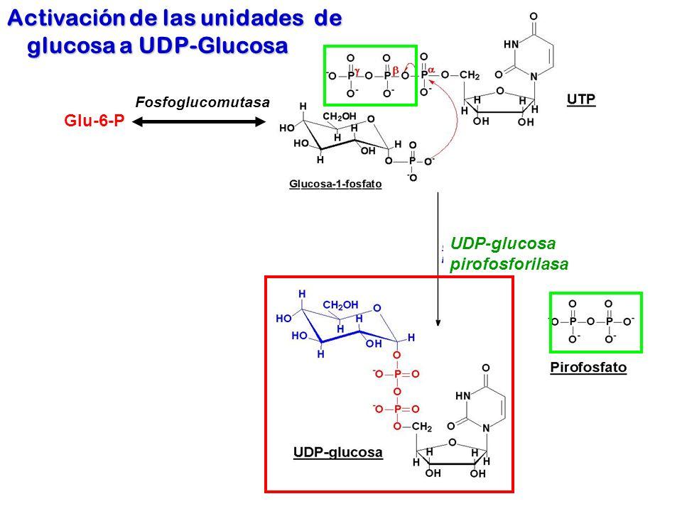 UDP-glucosa pirofosforilasa Activación de las unidades de glucosa a UDP-Glucosa Glu-6-P Fosfoglucomutasa