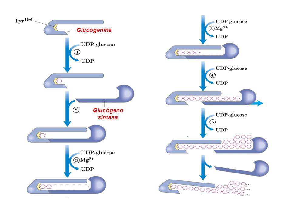 Proteína-Tyr glucosil transferasa (glucogenina) glucogenina Glucógeno sintasa Glucógeno sintasa y Enzima ramificante Partícula de Glucógeno Glucogenin