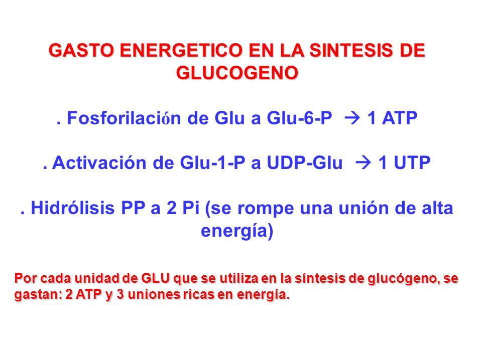 GASTO ENERGETICO EN LA SINTESIS DE GLUCOGENO. Fosforilaci ó n de Glu a Glu-6-P 1 ATP. Activación de Glu-1-P a UDP-Glu 1 UTP. Hidrólisis PP a 2 Pi (se