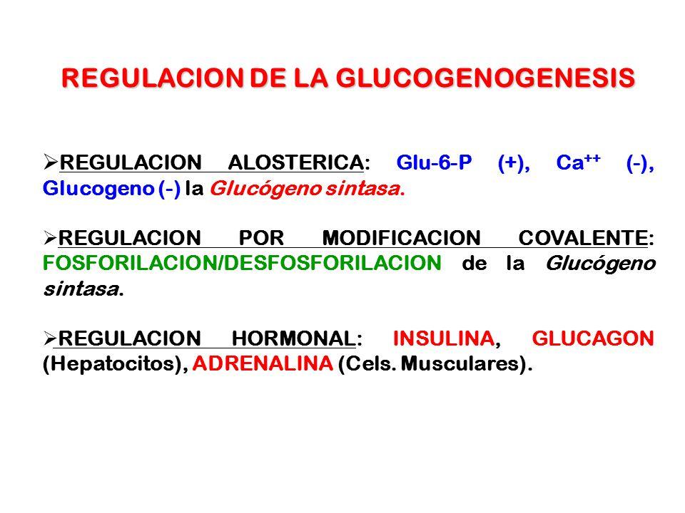 REGULACION DE LA GLUCOGENOGENESIS REGULACION ALOSTERICA: Glu-6-P (+), Ca ++ (-), Glucogeno (-) la Glucógeno sintasa. REGULACION POR MODIFICACION COVAL