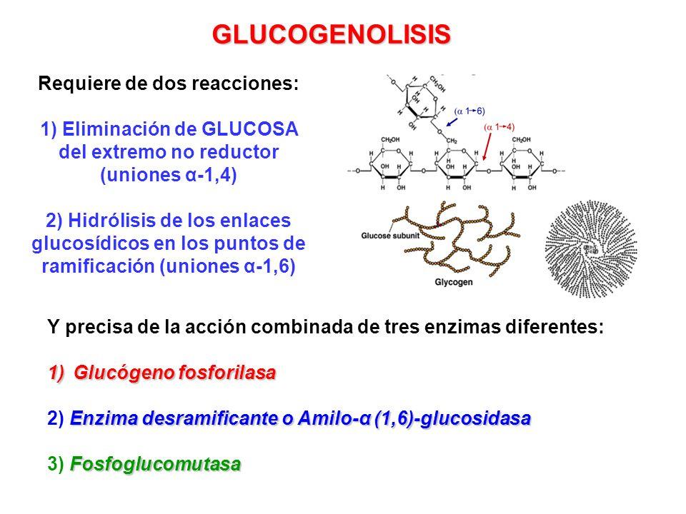 GLUCOGENOLISIS Y precisa de la acción combinada de tres enzimas diferentes: 1)Glucógeno fosforilasa Enzima desramificante o Amilo-α (1,6)-glucosidasa