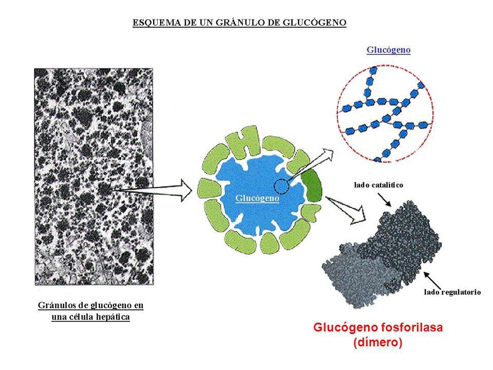 Glucógeno fosforilasa Enzima desramificante Enzima desramificante ( 1,4 1,4) glucanotransfersa ( 1 6) glucosidasa Hexoquinasa Glu-6-P Fosfogluco- mutasa n Glu-6-P
