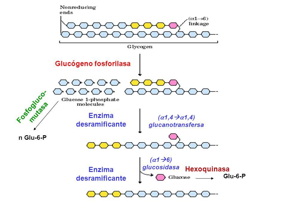 Glucógeno fosforilasa Enzima desramificante Enzima desramificante ( 1,4 1,4) glucanotransfersa ( 1 6) glucosidasa Hexoquinasa Glu-6-P Fosfogluco- muta
