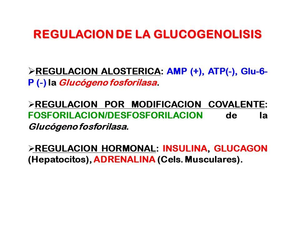 REGULACION DE LA GLUCOGENOLISIS REGULACION ALOSTERICA: AMP (+), ATP(-), Glu-6- P (-) la Glucógeno fosforilasa. REGULACION POR MODIFICACION COVALENTE: