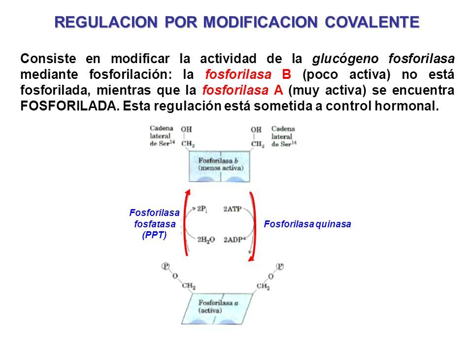 REGULACION POR MODIFICACION COVALENTE Consiste en modificar la actividad de la glucógeno fosforilasa mediante fosforilación: la fosforilasa B (poco ac