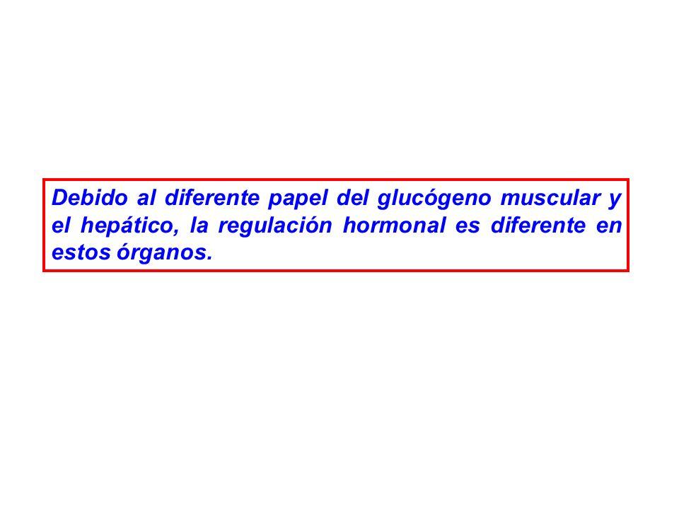 REGULACION DE LA GLUCOGENOLISIS MUSCULAR El glucógeno del músculo esquelético tiene como finalidad suministrar glucosa para que sea degradada oxidativamente (VG) y se pueda obtener ATP para la actividad muscular.