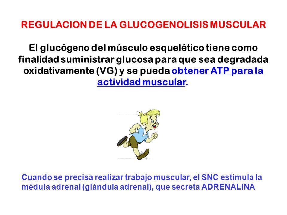 REGULACION DE LA GLUCOGENOLISIS MUSCULAR El glucógeno del músculo esquelético tiene como finalidad suministrar glucosa para que sea degradada oxidativ