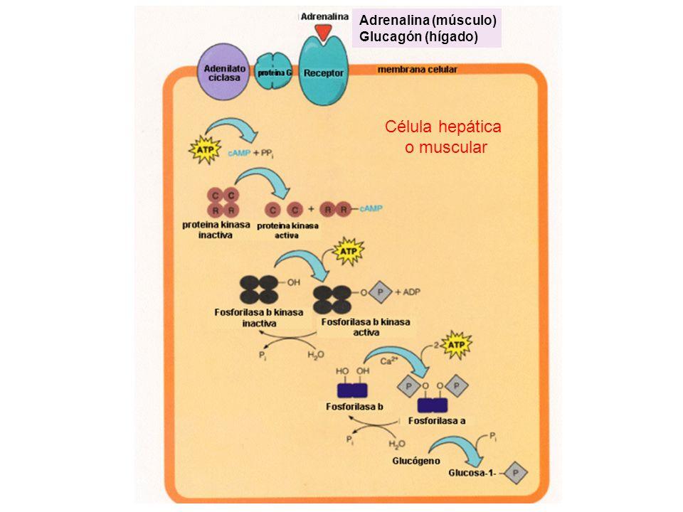 Adrenalina (músculo) Glucagón (hígado) Célula hepática o muscular