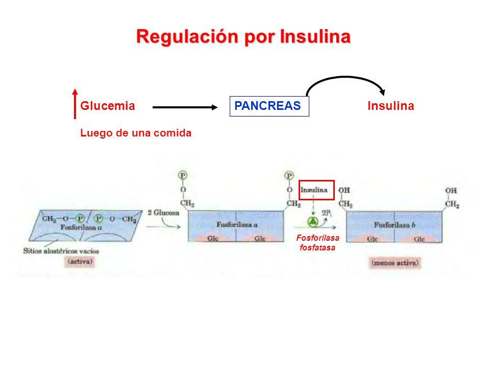 Regulación por Insulina Glucemia Luego de una comida PANCREAS Insulina Fosforilasa fosfatasa