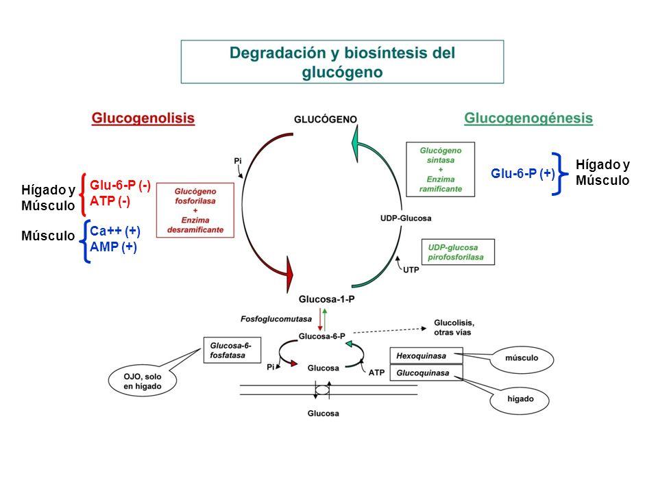Hígado Glucemia Entre comidas Dieta libre de carbohidratos PANCREAS Carrera Estrés emocional Agresión física Escape de un predador SNCMEDULA ADRENAL Inhibición de la Glucogenogénesis Activación de la Glucogenolisis