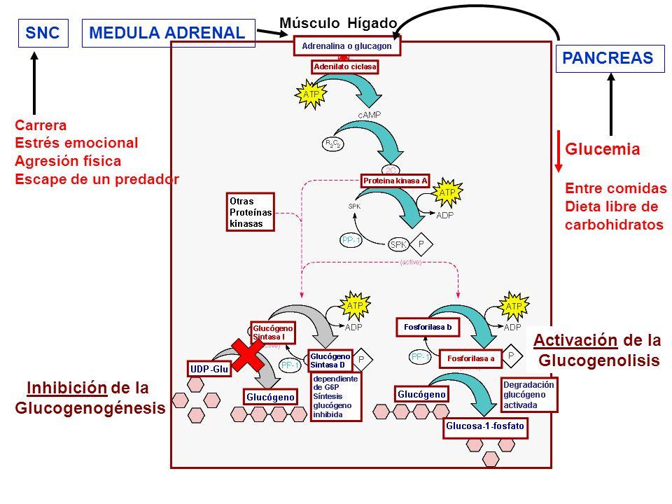 Cuando se ingieren carbohidratos con la dieta y los niveles de glucemia aumentan, la actividad de la glucógeno fosforilasa-A hepática disminuye rápidamente y, después de un tiempo (o tiempo de latencia) aumenta rápidamente la actividad glucógeno sintasa.