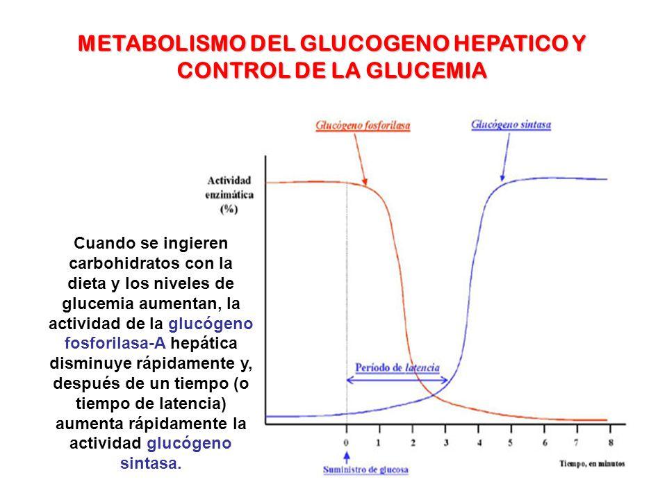Cuando se ingieren carbohidratos con la dieta y los niveles de glucemia aumentan, la actividad de la glucógeno fosforilasa-A hepática disminuye rápida