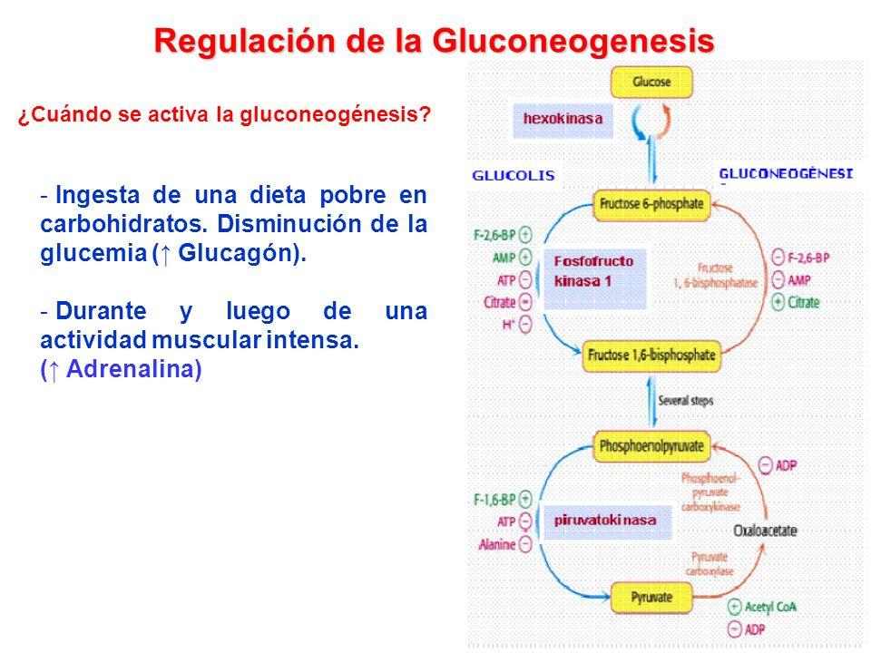 GLUCOSA-6-P Destinos metabólicos de la glucosa Glucógeno- génesis Glucógeno Via de las Pentosas Ribosa-5-P Piruvato Via Glicolitica Glucosa Glucosa-6-fosfatasa (solo en hígado) Gluconeo- genesis Glucógeno- lisis