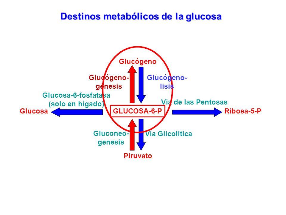 GLUCOSA-6-P Destinos metabólicos de la glucosa Glucógeno- génesis Glucógeno Via de las Pentosas Ribosa-5-P Piruvato Via Glicolitica Glucosa Glucosa-6-