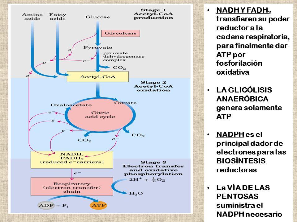 NADH Y FADH 2 transfieren su poder reductor a la cadena respiratoria, para finalmente dar ATP por fosforilación oxidativa LA GLICÓLISIS ANAERÓBICA gen