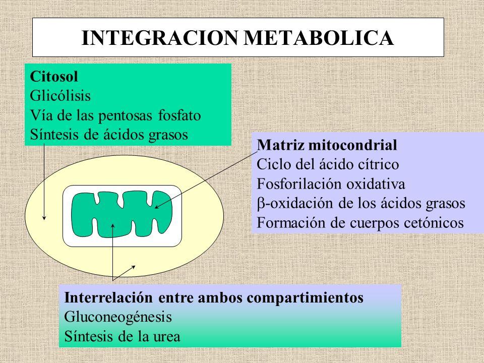 INTEGRACION METABOLICA Citosol Glicólisis Vía de las pentosas fosfato Síntesis de ácidos grasos Matriz mitocondrial Ciclo del ácido cítrico Fosforilac