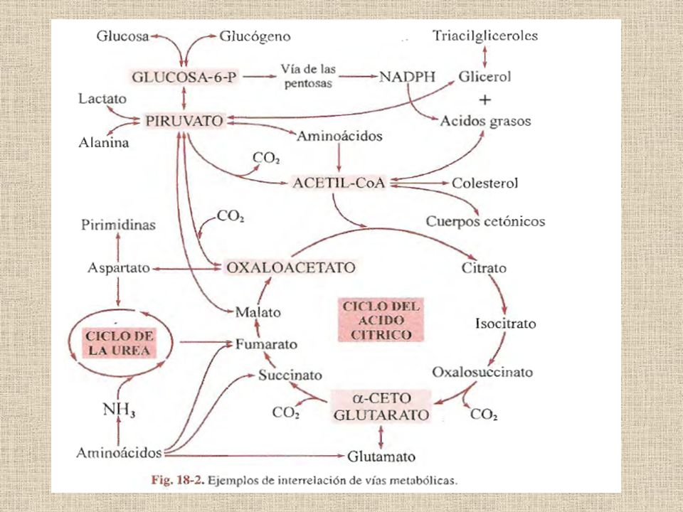 ENCRUCIJADAS METABOLICAS GLUCOSA-6-P PIRUVATO ACETIL-CoA GLUCOSA-6-FOSFATO GLUCONEOGENESIS GLUCOGENOLISIS GLUCOGENOGENESIS GLUCOSA SANGUINEA VIA DE LAS PENTOSAS VIA GLICOLITICA Hígado
