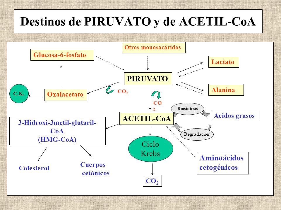 Destinos de PIRUVATO y de ACETIL-CoA Glucosa-6-fosfato 3-Hidroxi-3metil-glutaril- CoA (HMG-CoA) Oxalacetato Colesterol Cuerpos cetónicos PIRUVATO Lact