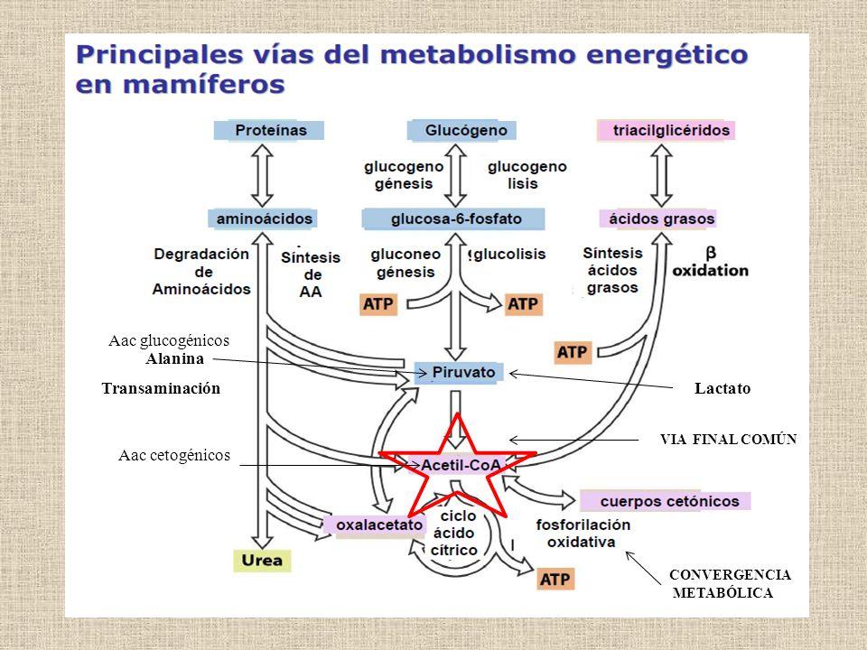 VIA FINAL COMÚN CONVERGENCIA METABÓLICA Transaminación Lactato Alanina Aac glucogénicos Aac cetogénicos