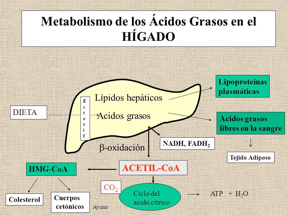Ciclo del acido citrico Metabolismo de los Ácidos Grasos en el HÍGADO Lipoproteínas plasmáticas Acidos grasos libres en la sangre NADH, FADH 2 -oxidac