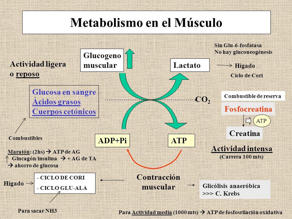 Metabolismo en el Músculo Actividad ligera o reposo Glucogeno muscular Lactato Glucosa en sangre Ácidos grasos Cuerpos cetónicos CO 2 ADP+PiATP Contra
