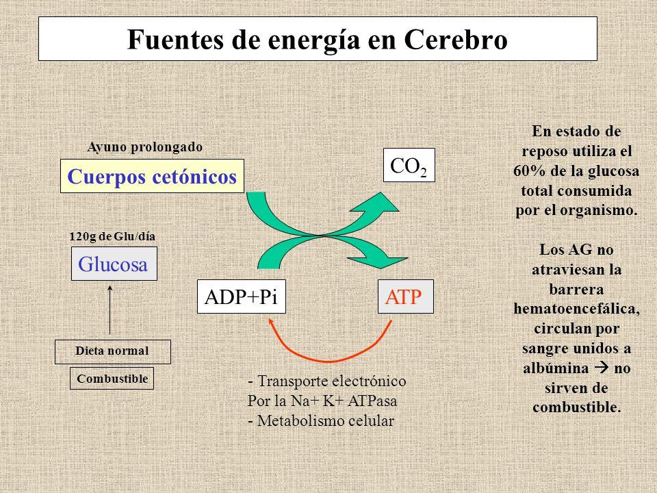 Fuentes de energía en Cerebro Cuerpos cetónicos CO 2 Glucosa ADP+PiATP - Transporte electrónico Por la Na+ K+ ATPasa - Metabolismo celular Dieta norma