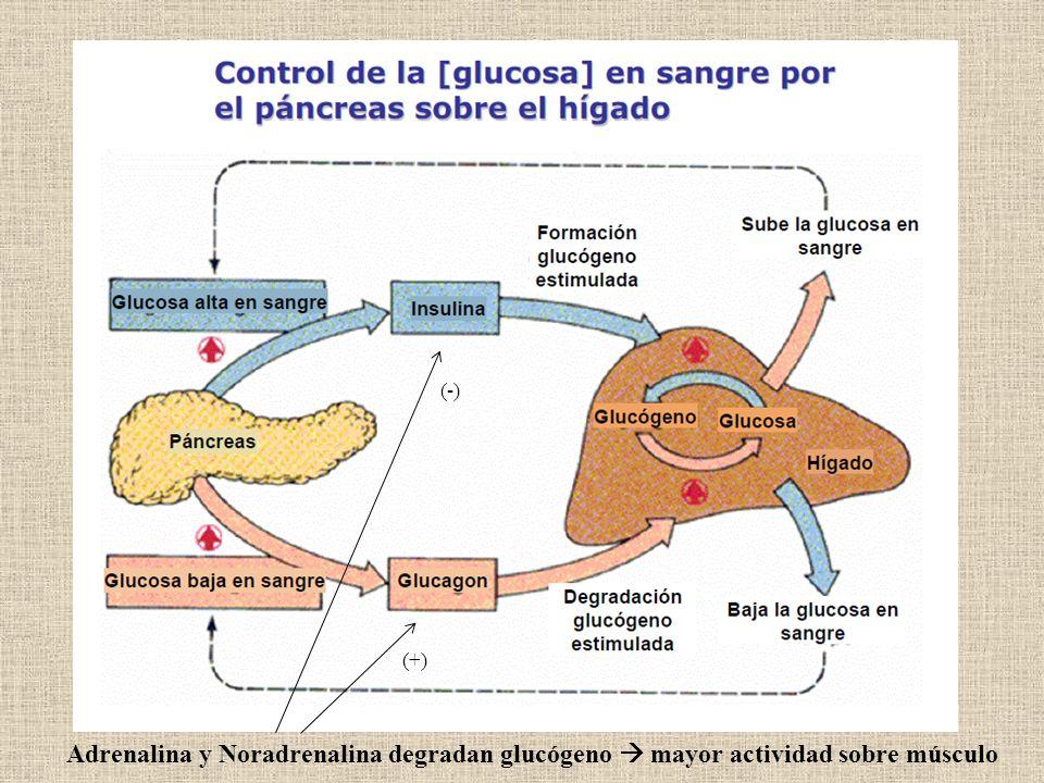 Adrenalina y Noradrenalina degradan glucógeno mayor actividad sobre músculo (-) (+)