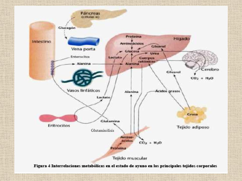 Glutaminólisis