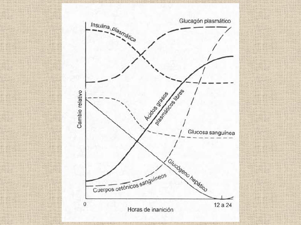 E Glucólisis anaeróbica ATP almacenado Creatina fosfato Ciclo de Cori Carreras de velocidad Corta distancia Carreras de larga distancia Maratón Glucagón, A y NA glucemia glucagón/ insulina
