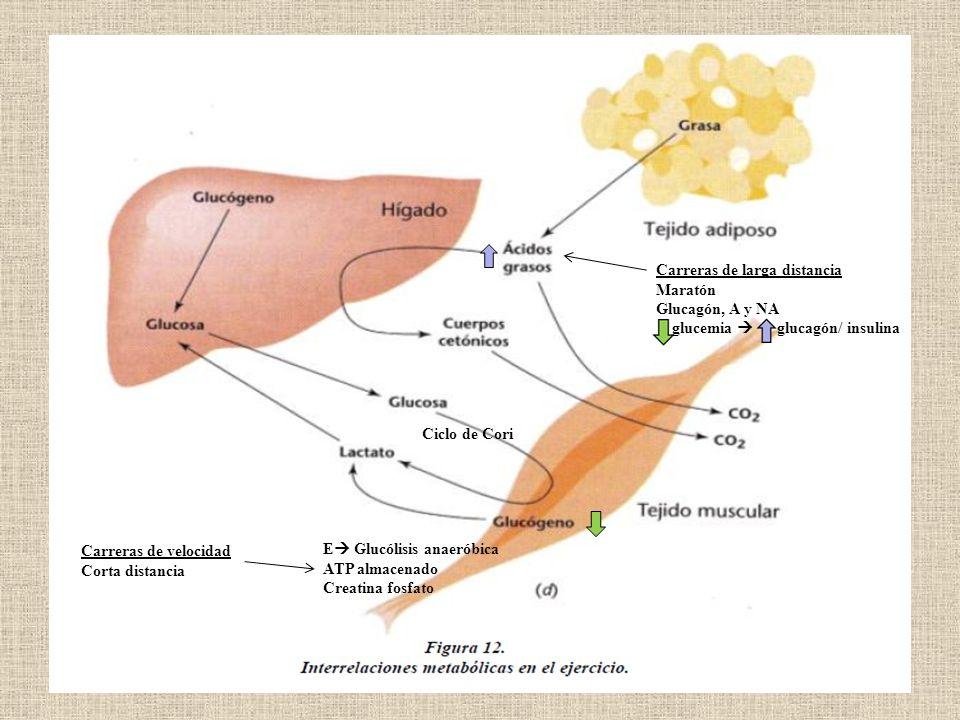 E Glucólisis anaeróbica ATP almacenado Creatina fosfato Ciclo de Cori Carreras de velocidad Corta distancia Carreras de larga distancia Maratón Glucag