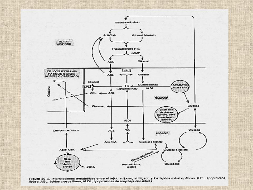Almacenamiento, movilización y uso de combustibles en distintos tejidos y en diferentes situaciones