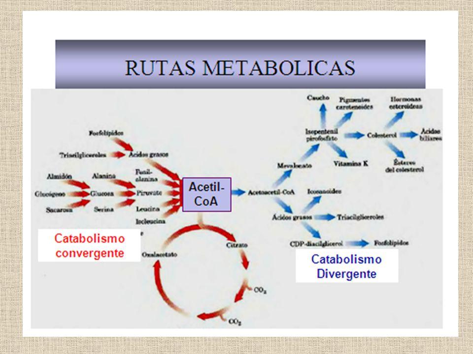 «EL ATP ES LA UNIDAD BIOLÓGICA UNIVERSAL DE ENERGÍA» EL GRAN POTENCIAL PARA TRANSFERIR ENLACES FOSFATO DE ALTA ENERGÍA CAPACITA AL ATP PARA SER UTILIZADO PARA DISTINTOS TIPOS DE ENERGÍA: - CONTRACCIÓN MUSCULAR - TRANSPORTE ACTIVO -AMPLIFICACION DE SEÑALES - BIOSÍNTESIS