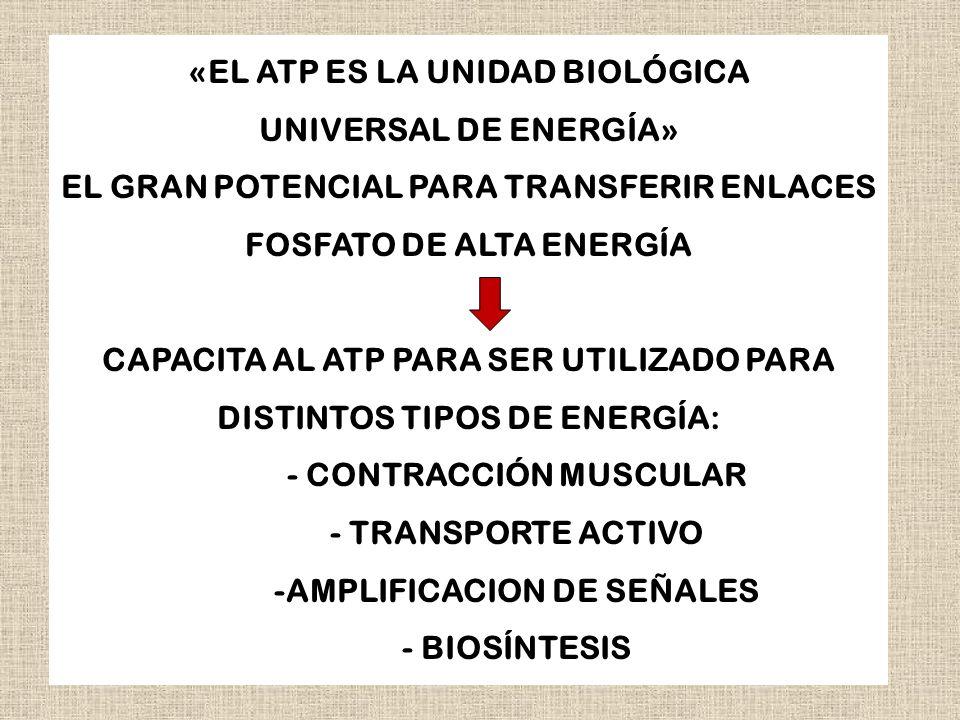 «EL ATP ES LA UNIDAD BIOLÓGICA UNIVERSAL DE ENERGÍA» EL GRAN POTENCIAL PARA TRANSFERIR ENLACES FOSFATO DE ALTA ENERGÍA CAPACITA AL ATP PARA SER UTILIZ