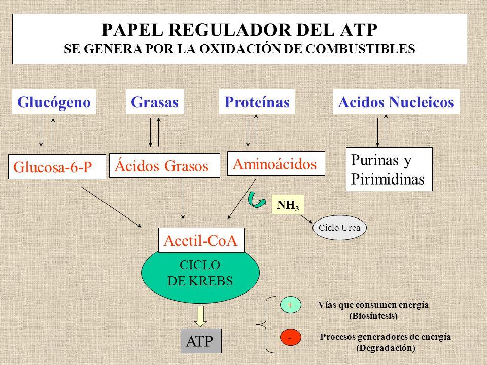 PAPEL REGULADOR DEL ATP SE GENERA POR LA OXIDACIÓN DE COMBUSTIBLES GlucógenoGrasasProteínasAcidos Nucleicos Glucosa-6-P Aminoácidos Purinas y Pirimidi