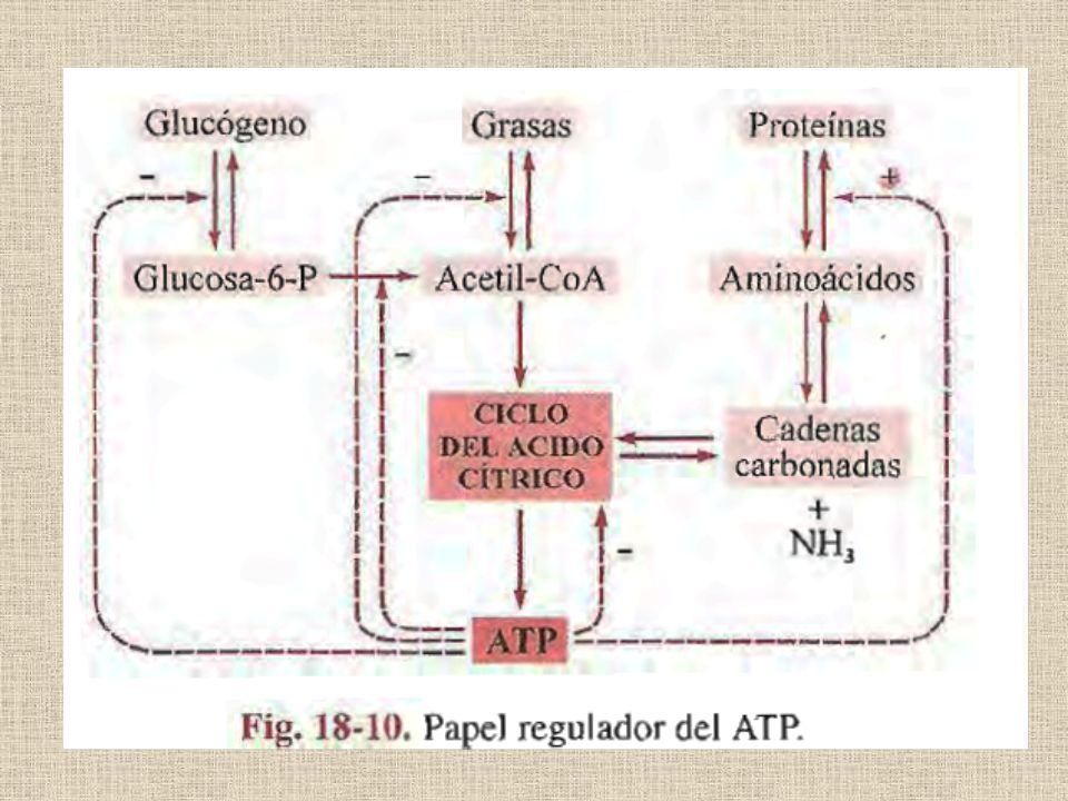 NADH Y FADH 2 transfieren su poder reductor a la cadena respiratoria, para finalmente dar ATP por fosforilación oxidativa LA GLICÓLISIS ANAERÓBICA genera solamente ATP NADPH es el principal dador de electrones para las BIOSÍNTESIS reductoras La VÍA DE LAS PENTOSAS suministra el NADPH necesario