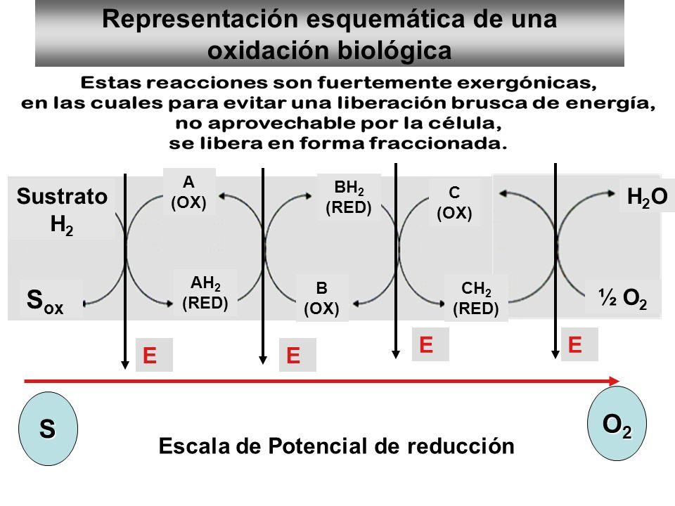 Representación esquemática de una oxidación biológica Sustrato H 2 S ox A (OX) AH 2 (RED) C (OX) B (OX) BH 2 (RED) CH 2 (RED) ½ O 2 H2OH2O Escala de P