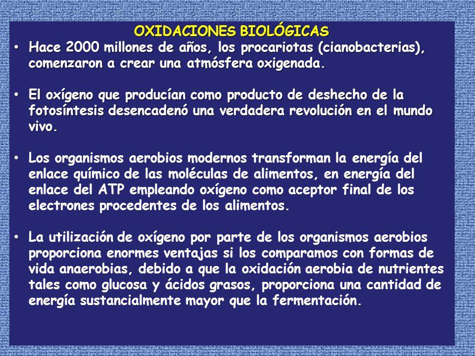 OXIDACIONES BIOLÓGICAS Hace 2000 millones de años, los procariotas (cianobacterias), comenzaron a crear una atmósfera oxigenada. Hace 2000 millones de