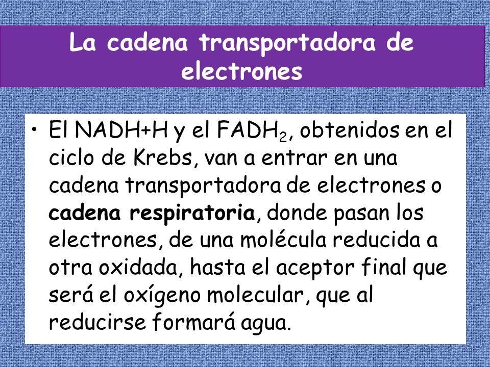 La cadena transportadora de electrones El NADH+H y el FADH 2, obtenidos en el ciclo de Krebs, van a entrar en una cadena transportadora de electrones