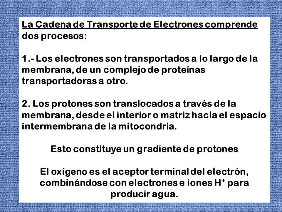 La Cadena de Transporte de Electrones comprende dos procesos: 1.- Los electrones son transportados a lo largo de la membrana, de un complejo de proteí