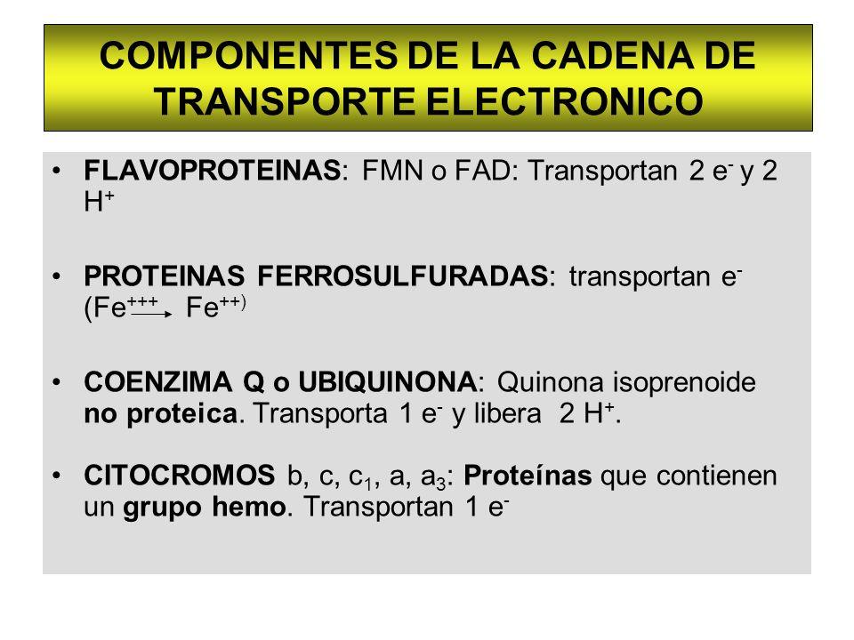 COMPONENTES DE LA CADENA DE TRANSPORTE ELECTRONICO FLAVOPROTEINAS: FMN o FAD: Transportan 2 e - y 2 H + PROTEINAS FERROSULFURADAS: transportan e - (Fe