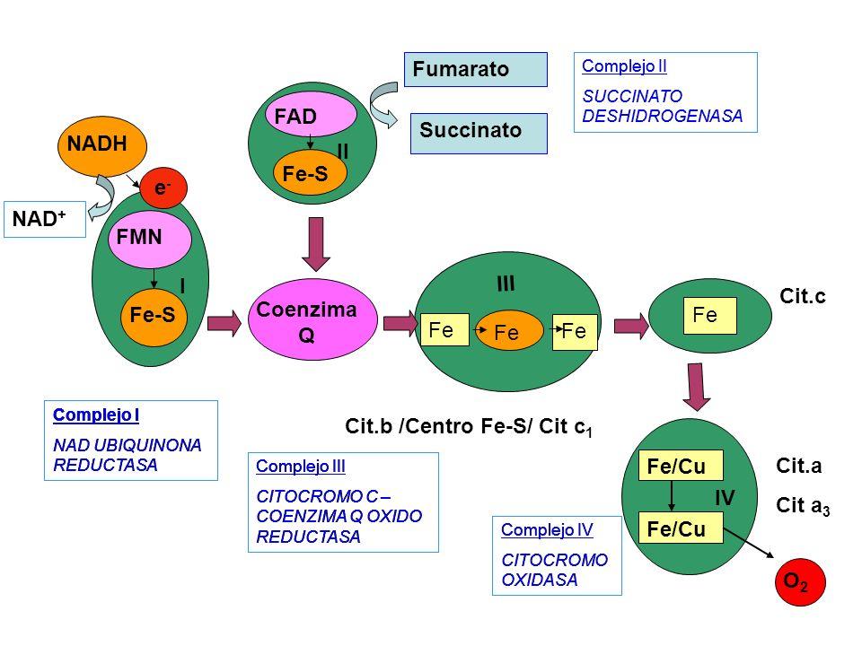 Cit.b /Centro Fe-S/ Cit c 1 Coenzima Q Fe/Cu O2O2 IV FAD Fe-S II Complejo I NAD UBIQUINONA REDUCTASA Complejo III CITOCROMO C – COENZIMA Q OXIDO REDUC