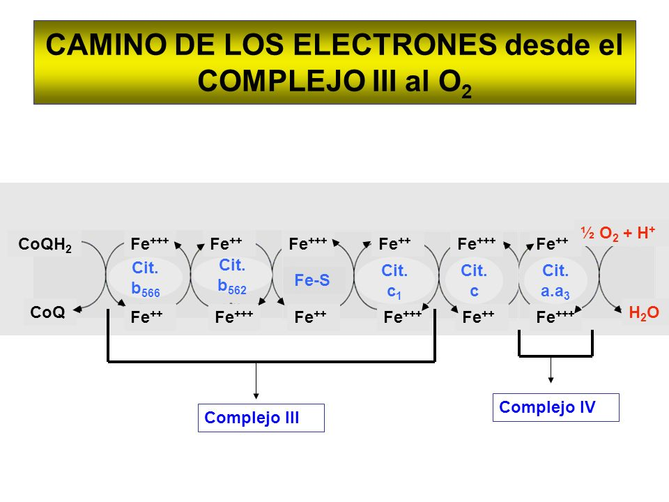 CAMINO DE LOS ELECTRONES desde el COMPLEJO III al O 2 CoQH 2 CoQ Cit. b 566 Fe +++ Fe ++ Fe +++ Fe ++ Fe +++ Fe ++ Fe +++ Fe ++ Fe +++ Fe ++ ½ O 2 + H