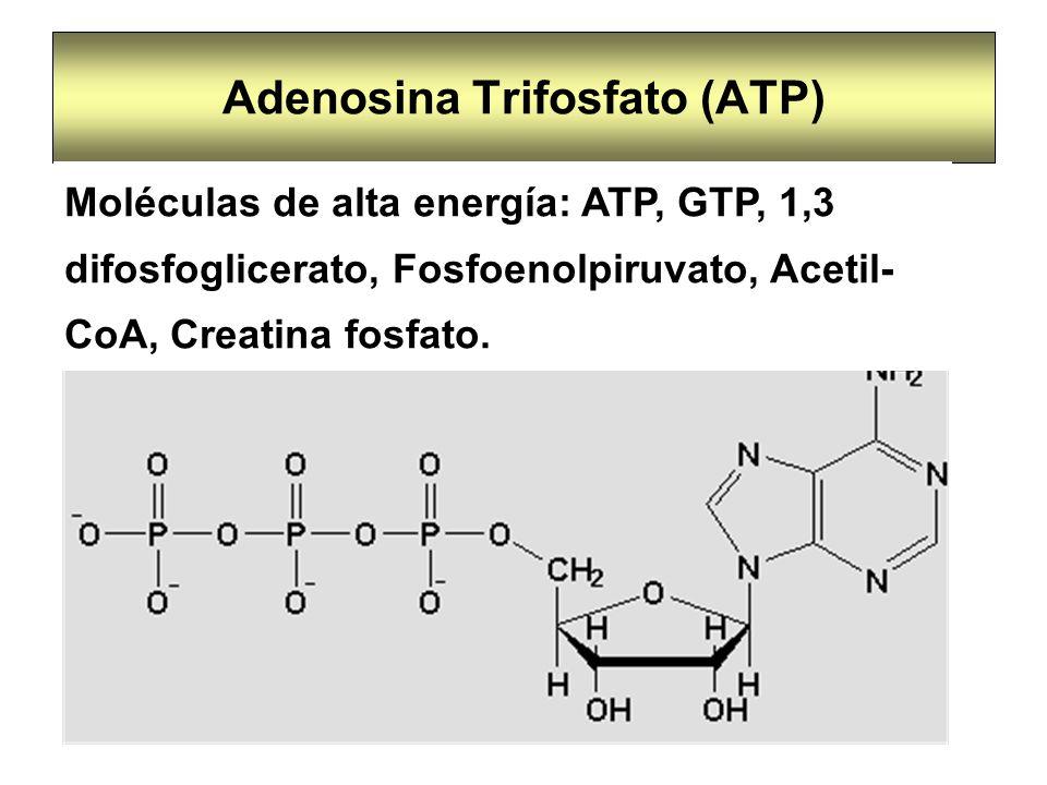 Adenosina Trifosfato (ATP) Moléculas de alta energía: ATP, GTP, 1,3 difosfoglicerato, Fosfoenolpiruvato, Acetil- CoA, Creatina fosfato.